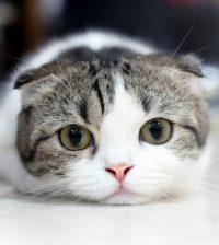 Scottish Fold International Cat Day
